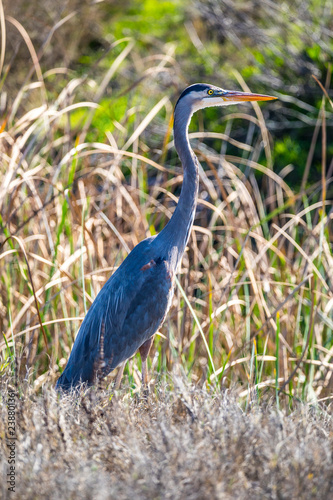 Fotografie, Obraz  A Great Blue Heron at the Merced National Wildlife Refuge in the Central Valley
