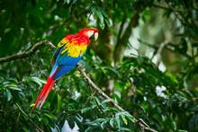 Scarlet Macaws, Ara Macao, Bir...