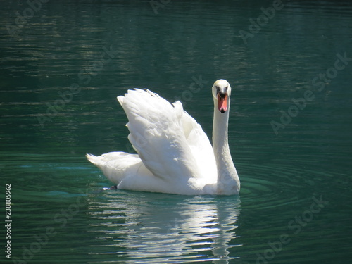 Fotografie, Obraz  Swan on a Lake in Florida