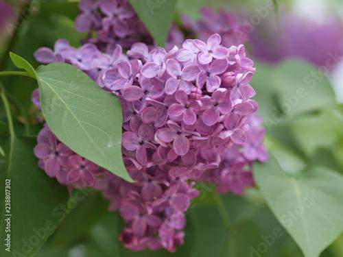 Fotografie, Obraz Fleurs de Lilas commun ou lilas français (Syringa vulgaris)