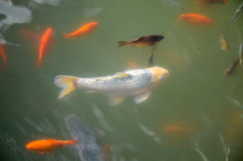 Colorful Fishes Swiming In The...