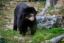 The Spectacled Bear (Tremarcto...