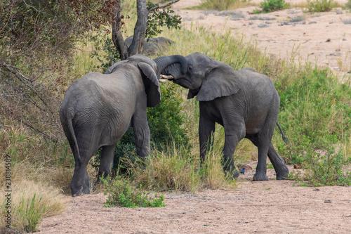 Canvas Prints Elephant Elefant 44