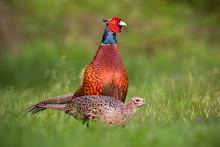 Pair Of Common Pheasants, Phas...