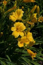 Hemerocallis Stella De Oro - Hemerocalle