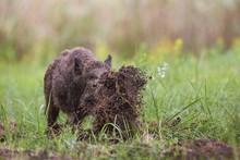 Wild Boar, Sus Scrofa, Digging...