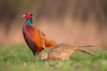 Male Common Pheasants, Phasian...