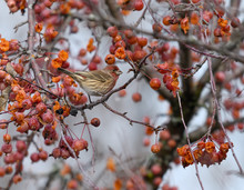 Male House Finch Perched In Serviceberry Tree In Winter