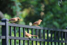 Young Female Northern Cardinal Songbird Birds Perched On Black Metal Fence In Backyard Garden.