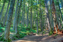 Hiking Path Through Old Growth Forest In Mt. Rainier National Park.