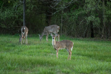 Deer Eating Grass By The Woods...