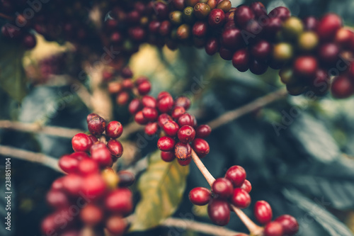 Fotografía cherry coffee Good quality red coffee beans exuberant coffee tree
