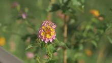 This Wild Flower Is Called Lan...