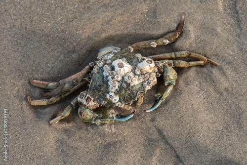 Strandkrabbe mit Seepocken
