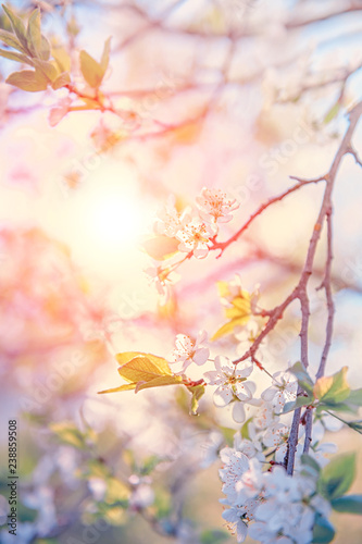 In de dag Kersenbloesem Spring branch with white small flowers at sunset. Background. Copy space