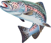 Trout Fish Illustration. Color...