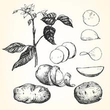 Hand-drawn Illustration Of Potato,  Vector