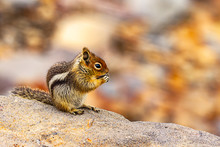 Small Chipmunk Eating A Seed On A Rock
