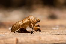 Cicada Shell Closeup