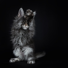 Impressive Blue Silver Maine Coon Cat Kitten Standing On Back Paws, Front Paws Above Head In The Air Covering Eyes, Playing Peek A Boo / Begging. Isolated On Black Background.