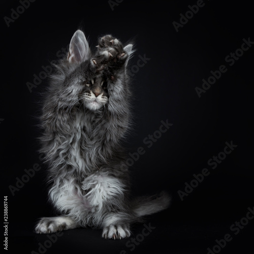 Impressive blue silver Maine Coon cat kitten standing on back paws