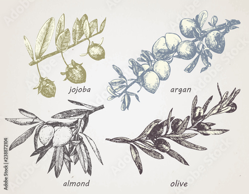Valokuva  Hand-drawn set of plants: olive, argan, almond and jojoba