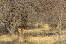 Impala Standing In The Shade O...