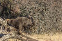 Wildebeest Enjoying The Mornin...