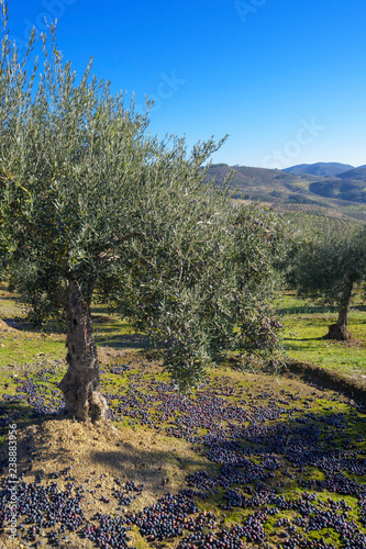 Autocollant pour porte Oliviers Olive trees in grove with some olives grown and on the ground during harvest season, Extremadura, Spain