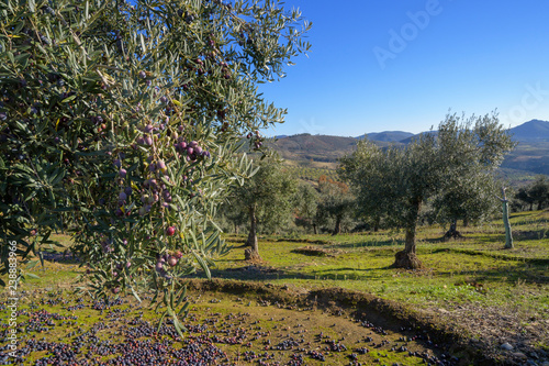 La pose en embrasure Oliviers Olive branch with some olives grown during harvest season, Extremadura, Spain