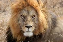 A Male Lion Resting In The Serengeti, Tanzania