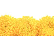 Three Yellow Chrysanthemum Flo...