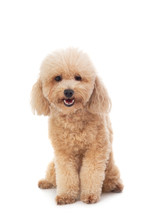 Cute Curly-haired Poodle Looking At Camera