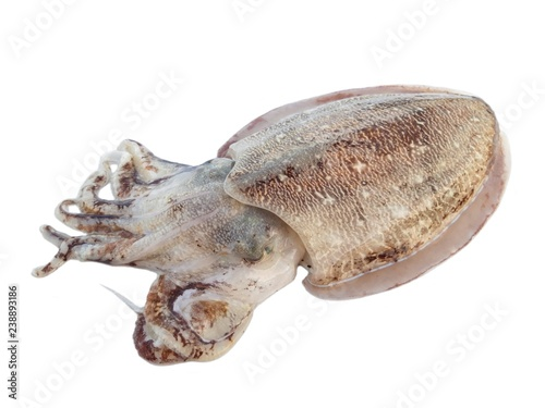 Giant cuttlefish isolated on w