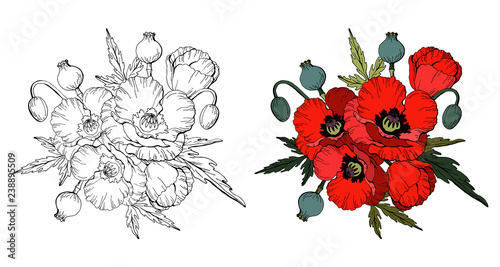 Set of Red poppies isolated on white background and black and white copy for coloring book, vector - 238895509
