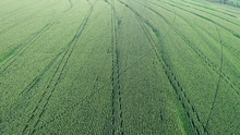 Aerial Photo Of Corn Plantation