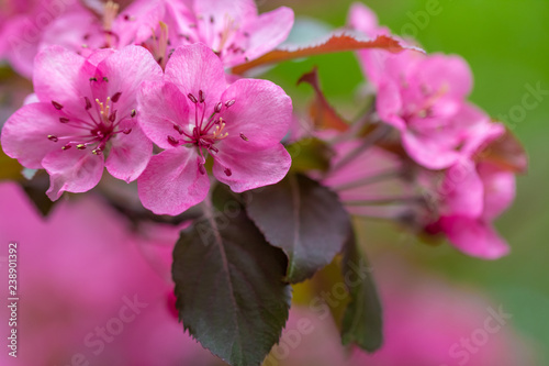 spring blooms in a plum tree
