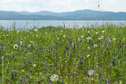 Blooming glade, with different meadow flowers against the background of the lake and mountains in summer Canvas Print