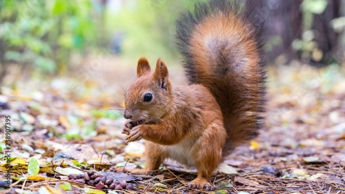 Fotobehang Eekhoorn Beautiful Squirrel close up with fluffy tail in forest, Tomsk