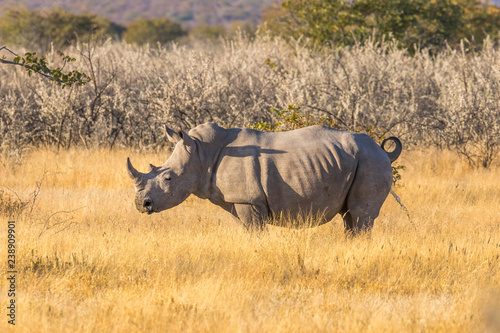 Fotografie, Obraz A white rhino ( Ceratotherium Simum) standing in a beautiful landscape peeing, sunset, Ongava Private Game Reserve ( neighbour of Etosha), Namibia