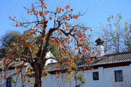 Caqui o palosanto, con sus frutos en otoño