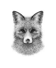 Hand Drawn Black And White Ink Illustration Of Fox Portrait. Isolated On White Background. Realistic, Vintage, Pointillism Style. Great For Print, Card, Tattoo Design