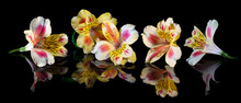 Yellow Flowers Of Alstroemeria...