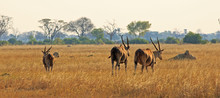 Panoramic View Of Three Eland On The African Plains In Hwange National Park, Zimbabwe