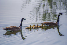 Four Baby Geese Float With Two Adults On A Quiet Lake