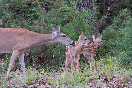 Texas white-tailed deer doe and pair of fawns Fototapeta