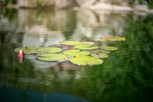 Beautiful Tropical Lily Pads In A Pond