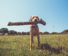 A Funny Pet Labrador Retriever Dog Holding A Big Stick In Its Mouth Whilst Standing Outdoors In A Countryside Field Under A Blue Sky With Copy Space.