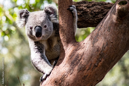 Canvas Prints Koala Curious Koala in Tree
