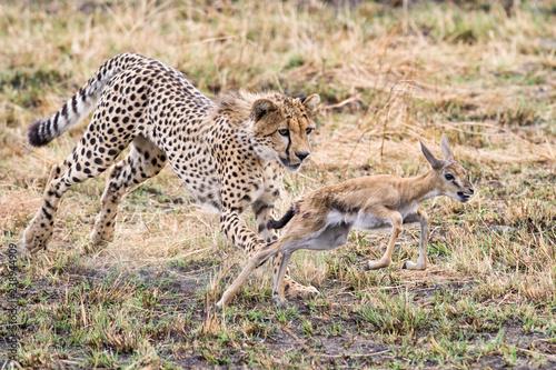 Cheetah (Acinonyx jubatus) Chasing Juvenile Gazelle, Maasai Mara Fototapet